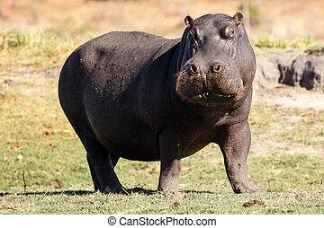 Hippo - Chobe River, Botswana, Africa - Hippopotamus - Chobe...