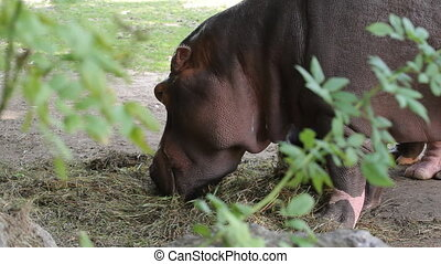 Close-up of a hippo eats in zoo
