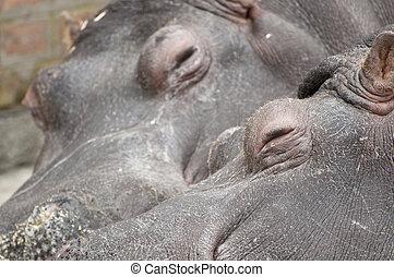 Hippo couple sleeping