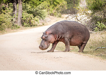 Hippo crossing the road.