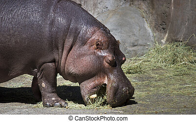 Hippo Eat Grass In Chiangmai Zoo Chiangmai Thailand Stock ... |Hippo Eating Grass