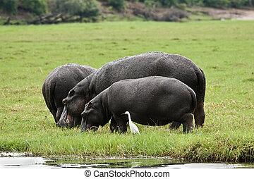 Hippo grazing on a patch of green grass, Okavango delta,...