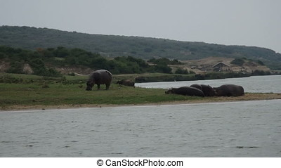 Hippo grazing on banks of Kazinga Channel, Queen Elizabeth...