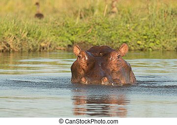 Hippo Head Closeup - Hippo Head in River Closeup