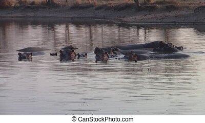 Hippo Herd in Pond in Moremi Game Reserve, Botswana