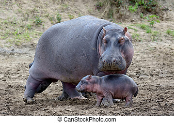 Hippo family (Hippopotamus amphibius) outside the water, Africa