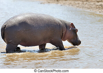 Hippo (Hippopotamus amphibius) in the water