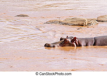 Hippo (Hippopotamus amphibius) in the water, Kenya, Africa