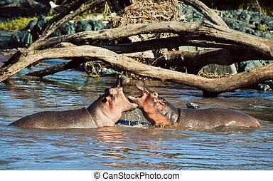 Hippo, hippopotamus fighting in river. Serengeti, Tanzania,...
