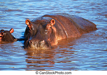 Hippo, hippopotamus in river. Serengeti, Tanzania, Africa -...