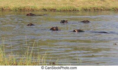 Hippo Hippopotamus in river. Moremi game reserve Okavango delta, Botswana, Africa safari wildlife and wilderness
