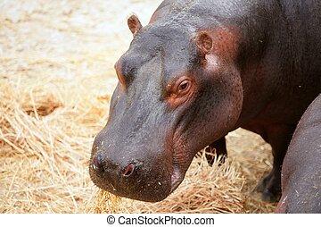 Hippo hippopotamus portrait at eating time