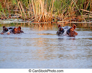hippo in Tanzania national park