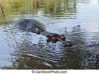 Hippo in the Sabie River, South Africa