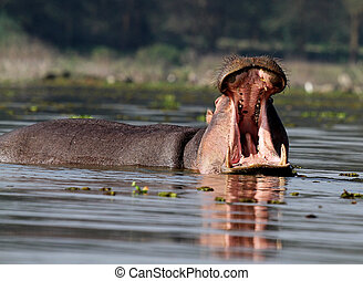 Hippo in water with open mouth
