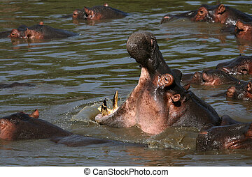 Hippo Mouth Wide Open in Africa