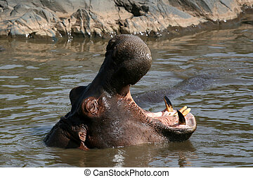 Hippo Mouth Wide Open in Africa - Hippos - Serengeti...