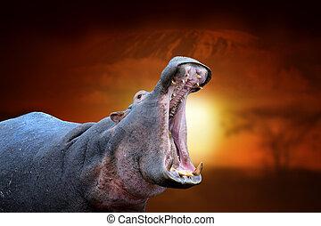 Hippo on savanna landscape background and Mount Kilimanjaro at sunset