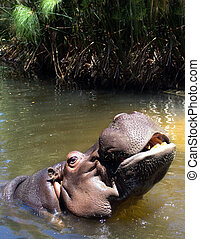 Hippo Coming out of Water