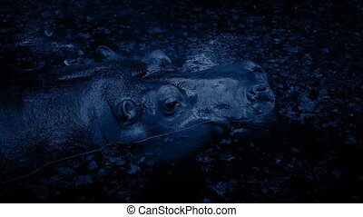 Hippo Submerges In Lagoon At Night - Hippo floating in...