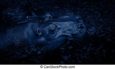 Hippo Submerges In Lagoon At Night