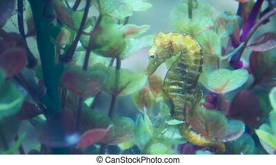 Hippocampus guttulatus, commonly known as the long-snouted seahorse. Yellow marine fish.