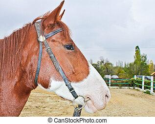 hippodrome., koń, closeup, głowa
