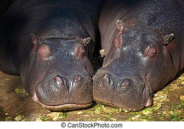 hippopotame, couple, dormir