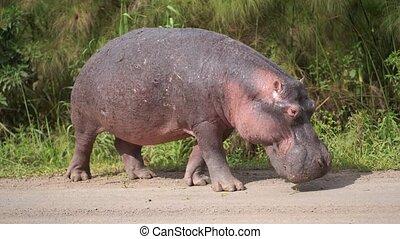 hippopotame, grass., ceci, jour, énorme, hippopotames,...