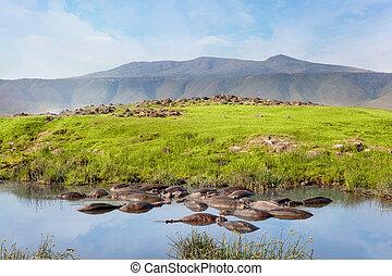 hippopotame, national, park., serengeti, safari., piscine, savane