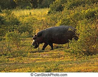 hippopotame, temps soir