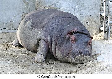 Hippopotamus 1 - hippopotamus in zoo