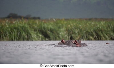 Hippopotamus Amphibius aka Hippo in River Water on Hot Day, Low Angle. Animal in Natural Environment of Tanzania National Park