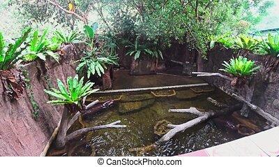 Hippopotamus and freshwater fish swim underwater. muddy water in an aquarium