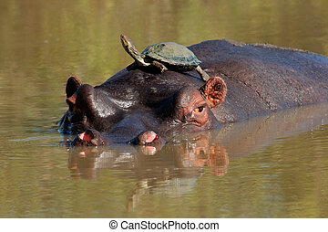 Hippopotamus and terrapin (k) - Hippopotamus (Hippopotamus...