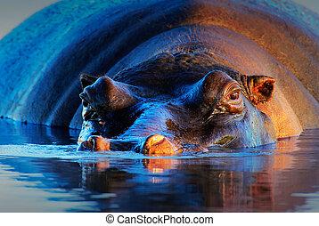Hippopotamus at sunset - Hippopotamus (Hippopotamus...