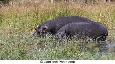 big Hippo Hippopotamus feeding in natural habitat okavango river. National Park Moremi, Okavango, Botswana Africa Safari Wildlife