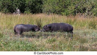 resting ang graze on river bank big Hippo Hippopotamus Hippopotamus in natural habitat okavango river. National Park Moremi, Okawango, Botswana Africa Safari Wildlife
