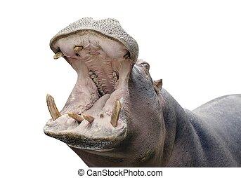 Hippopotamus - Close picture of an hippopotamus with open...