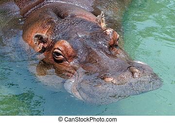 Hippopotamus - Close up of submerged hippopotamus with only...