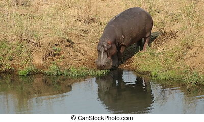Hippopotamus entering water