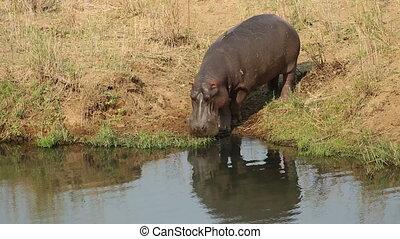 Hippopotamus entering water
