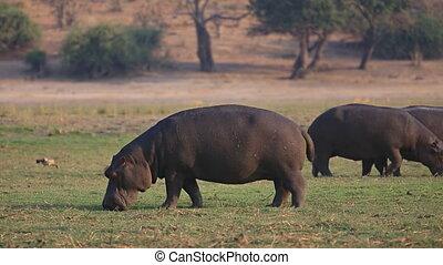 Hippopotamus Amphibius group grazing in Chobe National Park
