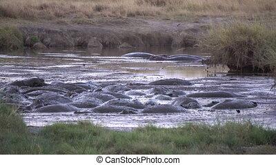 Hippopotamus Herd Resting in Muddy Pond in Tanzania National Park, Slowmotion