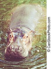 hippopotamus., hipopótamo, saída, a, água