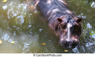 Hippo in a pool of water.