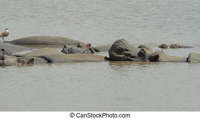 Hippo in the lake in a safari in Israel