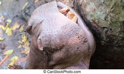 Hippopotamus Hippo in the zoo. Animals concept