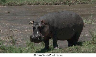 Hippo standing on Mara river bank