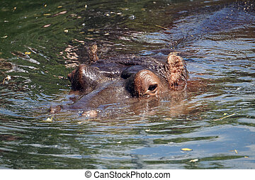 Hippopotamus/ hippo swimming - visible head